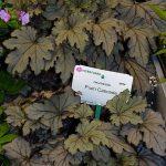 Heucherella 'Plum Cascade' ze stoiska firmy Vitroflora_Gardenia 2017
