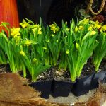 Narcyzy_w kwiaciarni Floristica_Krakow_AC