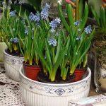Szafirki_w kwiaciarni Floristica_Krakow_AC