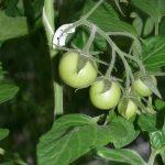 Pomidor całogronowy Maxeza F1 (uprawa bez doświetlania, początek lutego) AW