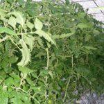 Pomidor całogronowy Merlice F1 w szklarni bez doświetlania, początek lutego (AW)