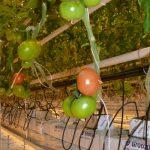 Pierwsze dojrzewające owoce pomidora Tomimaru Muchoo F1 (6.02.2017) AW