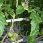Pomidor całogronowy Xandor F1 (uprawa bez doświetlania, początek lutego)