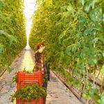W nowej szklarni rynny uprawowe są oddalone od siebie o 2 m, pozwala to na lepsze doświetlenie roślin, ułatwia także wykonywanie prac pielęgnacyjnych i zbiorów (AW)