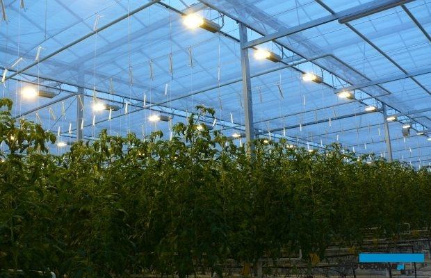 Uprawa pomidorów malinowych z doświetlaniem asymilacyjnym
