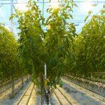 Uprawa pomidorów malinowych z doświetlaniem asymilacyjnym, rzędy oddalone są o 2 m, uprawa prowadzona w systemie V (AW)