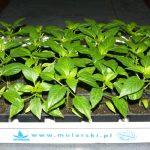 W Mniszewie zaprezentowano również rozsadę papryki do uprawy tunelowej (AW)