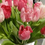 Odmiana Hemisphere__Tulipan _fot. J-Treder