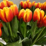 Tulipan Andre Citroen__fot. J-Treder