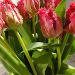 Tulipan Barbados - odmiana_fot. J-Treder