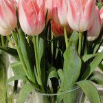 Tulipan Mickey Chic_fot. J-Treder