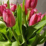 Tulipan Mustang_fot. J-Treder