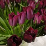 Tulipan Purple lady__fot. J-Treder