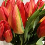 Tulipan Red Gold_fot. J-Treder