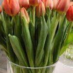 Tulipan Tansu Ciller__fot. J-Treder