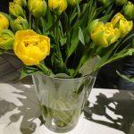 Tulipan Yellow Pomponette__fot. J-Treder