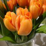 Tulipan_Odmiana Triple A - fot.J-Treder