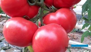 Pomidor malinowy Framboo F1 w uprawie pp. Jolanty i Wiesława Kwietniewskich (uprawa jesienna, 2016 r)
