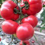 Pomidor malinowy Frambo F1 w uprawie pp. Kwietniewskich (fot.1-3 W. Kwietniewski)