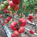 Pomidor malinowy Frambo F1 w uprawie pp. Kwietniewskich