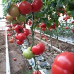 Pomidor malinowy Frambo F1 w uprawie pp. Kwietniewskich w Grudziądzu