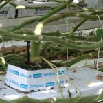 Uwagę naszych ogrodników zwracała znaczna grubość pędów pomidorów w doświetlanych uprawach - odmiana Merlice Fa szczepiona na podkładce Maxifort F1, kostka rozsadowa Rootmax (AW)