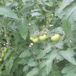 Pomidor malinowy Framboo F1 w uprawie Marcina Dziubaka w Witnicy (fot. 1, 2 M. Dziubak)