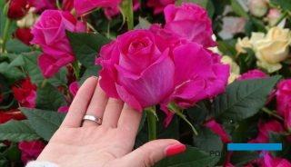 Róże (tu odmiana Milagro) są głównym, całorocznym produktem gospodarstwa Kordylasiński spod Kalisza