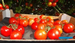 Merlice F1 z doświetlanej uprawy w gospodarstwie Greenway