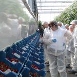 Kolekcja odmian pomidorów De Ruiter i ekspozycja ich owoców w szklarni doświadczalnej Monasanto w Gravenzande (AW)