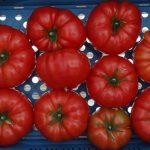 Pomidor wielkoowocowy testowany pod numerem DR9544TH