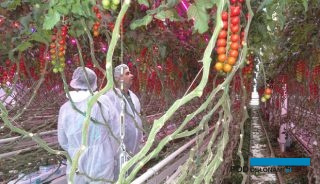 Pomidor typu cherry odmiany Juanita F1 w uprawie z doświetlaniem LED-oaym w Improvement Centre w Holandii (AW)