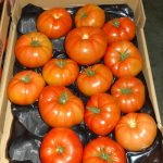 Pomidor wielkoowocowy Ducovery F1 z uprawy doświetlanej w Bleiswijk (AW)Pomidor wielkoowocowy Ducovery F1 z uprawy doświetlanej w Bleiswijk (AW)