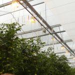 Doświetlana uprawa w szklarniach firmy Solyco (AW)