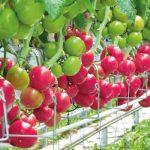 Pomidor malinowy Framboo F1 w uprawie w okolicach Kalisza (2016 r.)