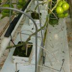 Rośliny są szczepione i prowadzone na dwa pędy, rozsada została przygotowana w dużych kostkach Plantop