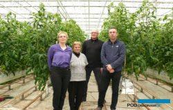 Trzeci sezon uprawy pomidorów w Chotowej
