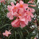 firma MargheritiPiante_Nerium oleander_AC