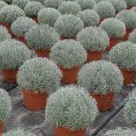 Lavandula-angustifolia_MargheritiPiante_AC