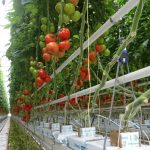 Pomidor gronowy Merlice F1 (AW)