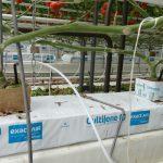 Rośliny są szczepione na podkładce Maxifort i prowadzone na 2 pędy (AW)