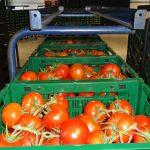 Pomidory oferowane są m.in w plastikowych skrzynkach - opakowania dostosowane są do wymagań marketów (AW)