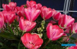Nowe tulipany i dwudziestolecie