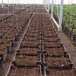 Skrzynki z młodymi roślinami lilii tuż po wstawieniu do szklarni (Klaver Lily Group)_fot-A-Cecot