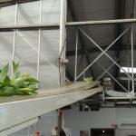 Lilie_Qualiy_gorny tasmociag do transportu kwiatow cietych ze szklarni do pracowni