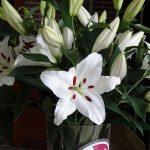 Lilia_Santander_OR_Klaver lily