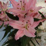 Lilia_PinkPalace_OT_Qualily