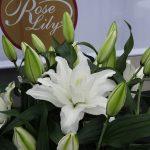 Lilia Roselily 'Aretha',