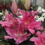 Lilia 'Praiano' - odmiana orientalna (Vletter & De Haan