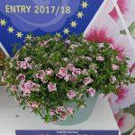 Calibrachoa MiniFamous 'Double PinkTastic'